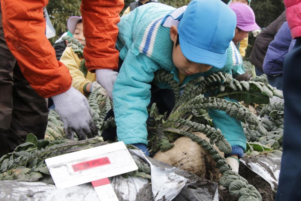1月桜島大根収穫